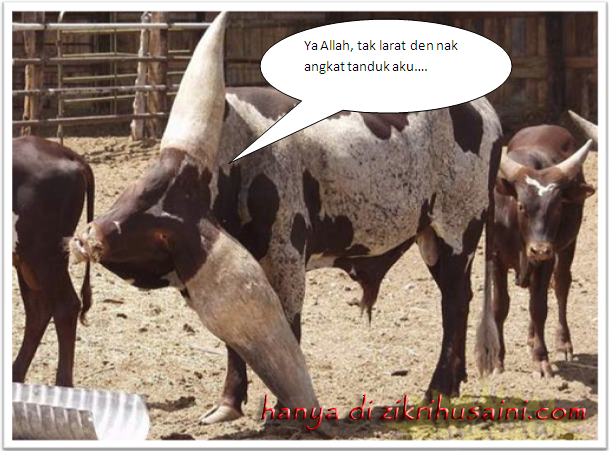 lembu tanduk panjang, kettle long torn, cow, cow long torn, cow cute, picture cow,